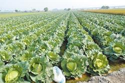 高麗菜種植登記 農民意願低