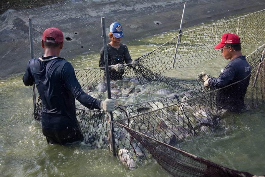 口湖鄉台灣鯛將做為創生計畫示範點。(張朝欣攝)