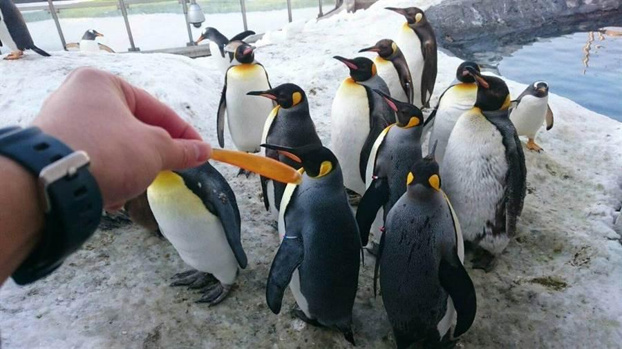 日本北海道旭山動物園分享了企鵝鳥喙的下嘴板每年都會剝落(圖/翻攝自推特/@asahiyamazoo1)