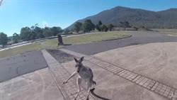 袋鼠喜迎滑翔翼男降落!下秒才知牠來「定孤支」