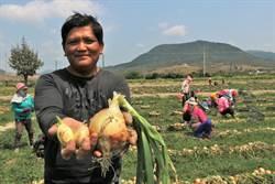 恆春暖冬農損慘過寒害 洋蔥農嘆:補助無濟於事