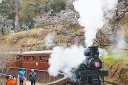 蒸氣火車繽紛櫻王 相映成趣
