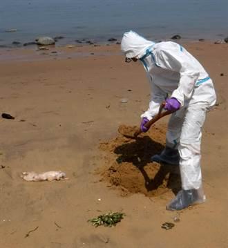 小金門海邊漂來對岸死豬 檢出非洲豬瘟病毒