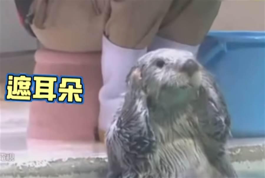 鳥羽水族館的海獺小梅不僅超會擺POSE,最近又學會了新特技「水中旋轉」。(圖/中天新聞)