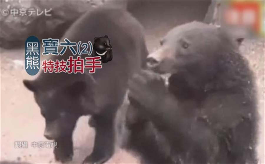 黑熊「寶六」去年七月時突然學會拍手後,發明了新招數「拍手原音」,利用大聲拍手吸引遊客注意。(圖/中天新聞)