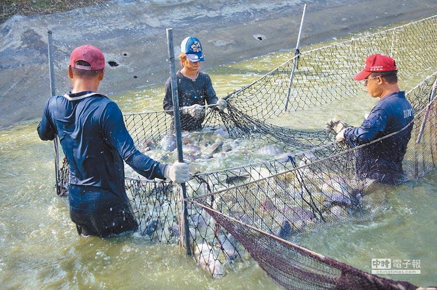 雲林縣口湖鄉台灣鯛將做為創生計畫示範點。(張朝欣攝)