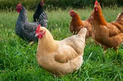 貪心狐狸進雞舍吃大餐 反遭3千隻雞活活啄死