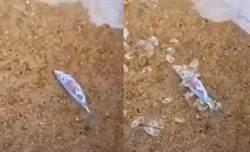 丟入死魚30秒!海螺蜂湧狂嗑 畫面像喪屍爬出
