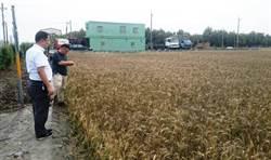 慘!旱水災一起來 小麥稻穗發芽、紅龍果水傷爛枝