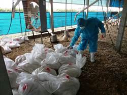 禽流感爆不停!彰化芳苑土雞場再撲殺16564隻雞