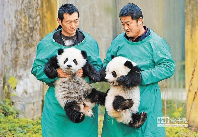 傳陸方有意送高雄2隻大貓熊,引來「統戰」臆測。圖為重慶動物園內大貓熊。(新華社)