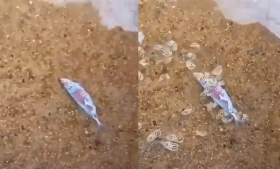 丟入死魚30秒!海螺蜂湧狂嗑 畫面像喪屍爬出(圖翻攝自推特/@twi_vaz)