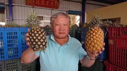 鳳梨產季剛開始 產地價格低迷 嘉義農民不滿
