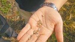 小麥穗發芽 火龍果爛枝