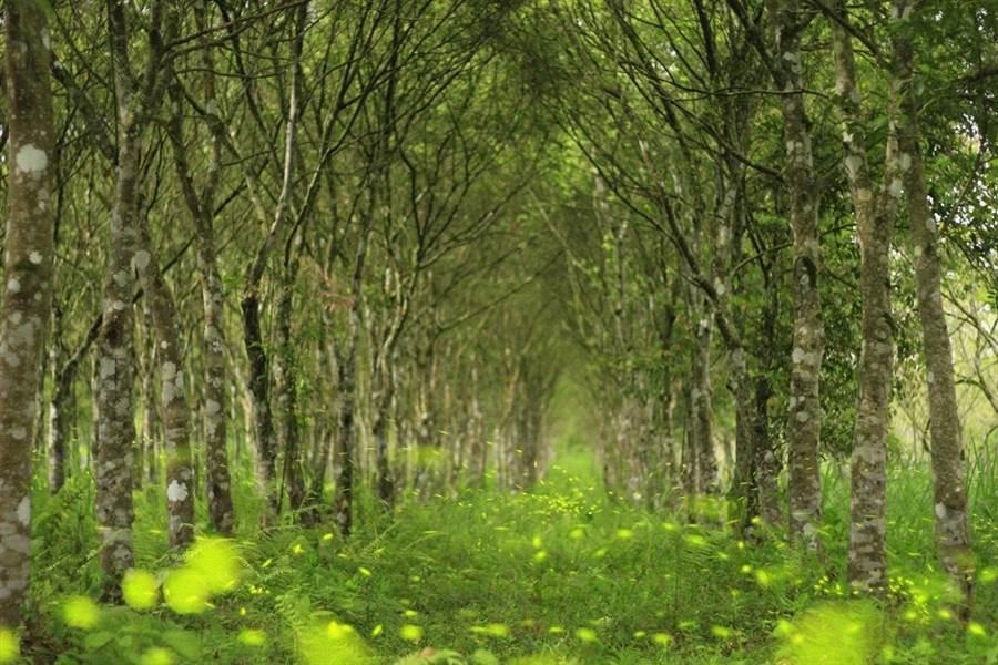 為期一個月的花蓮大農大富賞螢趣「螢火蟲世紀婚禮」今在光復鄉的大農大富平地森林園區正式開跑。(花蓮林區管理處提供)