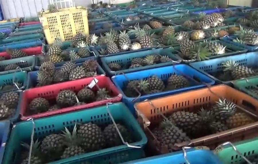 鳳梨產季才剛開始就傳出產地收購價上中下果每台斤分別僅剩5、3、1元。(資料照片/張亦惠攝)