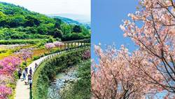 接棒天元宮!三芝櫻花季1萬6千棵三色綻放