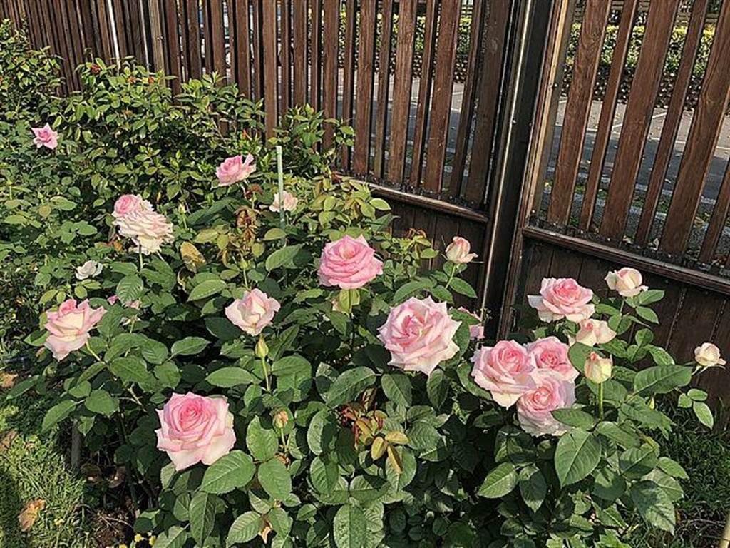 美麗的玫瑰正綻放著最美的姿態等待大家的到來。(圖取自北市公園處官網)
