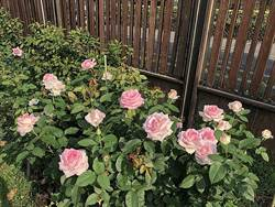 玫瑰展芬芳!魔術表演+咖啡!春浪漫就在這