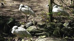 黑面琵鷺做好外交!在日誕生的鳥兒最愛「台灣食」