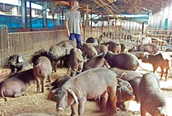 廚餘養豬轉型補助 3/31截止