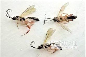 隱翅蟲肆虐 澎湖展開滅蟲作戰