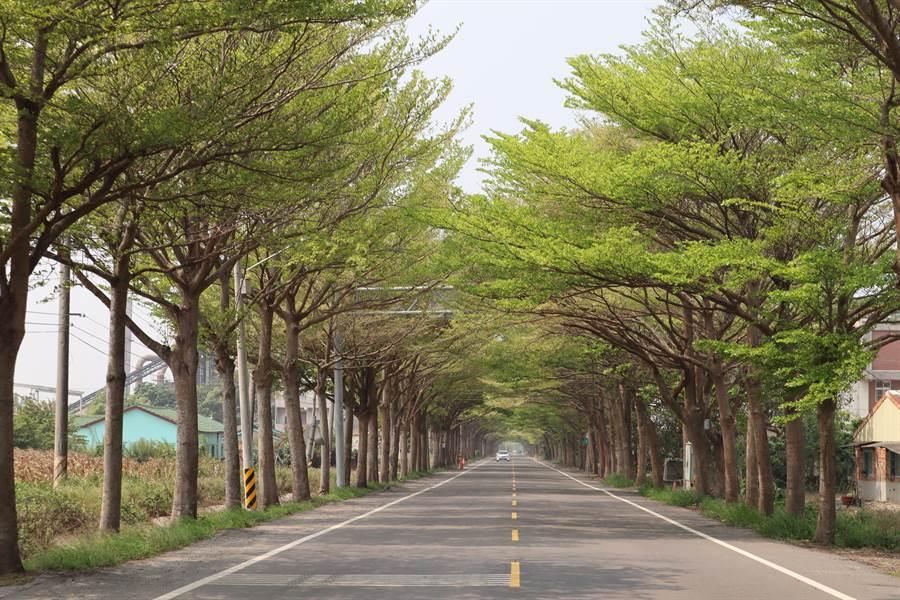 沿著174縣道從下營往學甲前進,沿途綠意盎然的小葉欖仁樹冠交織成一座綠色隧道,是愛好攝影人士的必拍景點