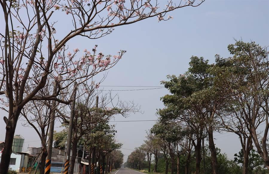 下營區174縣道上的風鈴木花道也是熱門賞花景點。(劉秀芬攝)