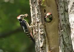 啄木鳥非好鳥! 原來被兒歌蒙蔽好多年