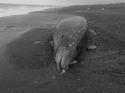 塑膠垃圾惹禍? 花蓮鯨豚一屍兩命擱淺 解剖報告出爐