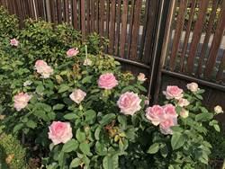 玫瑰園春季展明開幕 公園處讚:色香味俱全