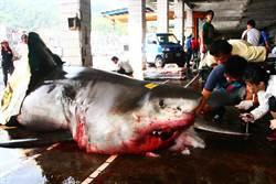 影》宜蘭宰殺大白鯊超嗨 衝浪教練哭:是15條生命啊!