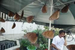 每分鐘7百隻紫斑蝶!國3林內段「讓道」