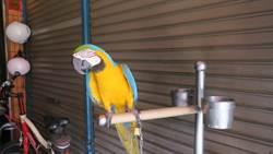 金剛鸚鵡「阿呆」 員林法院街檳榔攤活招牌