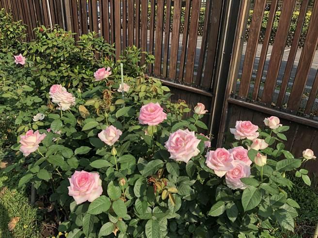 玫瑰園春季展明開幕 公園處:今年色香味俱全