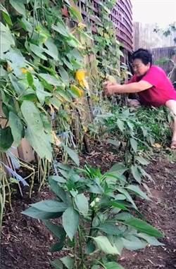 大媽偷將花園變「菜園」 網笑:洋女婿心碎了!
