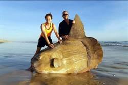 誤以為船殘骸!澳岸邊驚見巨型翻車魚 專家憂心