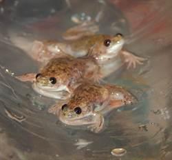 古代民間如何驗孕?這種蛙成了「活體驗孕棒」