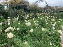 台北玫瑰展開幕 超過700種玫瑰花免費參觀