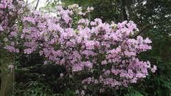 粉紅花朵飄浪漫!春天泡湯趣!賞烏來杜鵑品花香