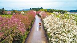 鳳凰溝景區春光美 七色櫻花海鬥豔