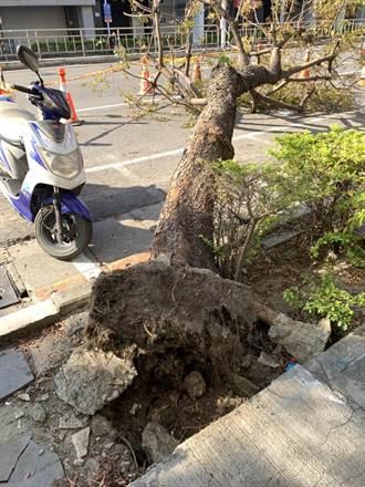 高雄白蟻肆虐 路樹根蛀倒塌壓傷騎士