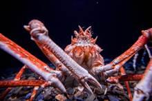 百年「巨獸」 世界最大螃蟹連鯊魚都怕牠