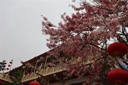 南化寶光聖堂花旗木大開 粉紅花海超吸晴