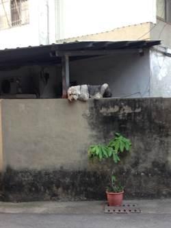 不是狗急跳牆!這隻聽障狗狗趴牆上的原因超暖心