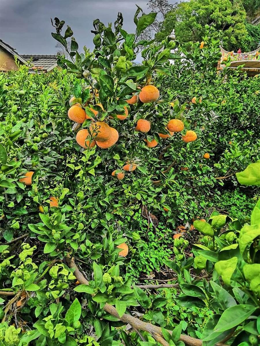 臺中市東勢區是孕育茂谷柑的發源地。圖:業者提供