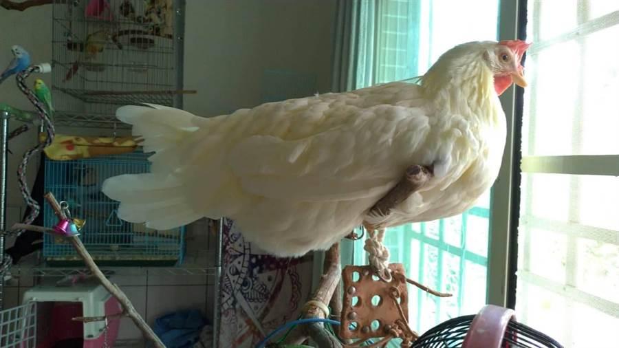 阿雞每天早上10點多會到自己的外出籠下蛋。(何冠嫻翻攝)