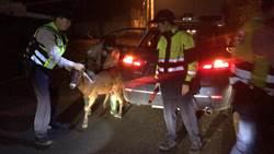「有四腳獸跑進車陣」4警衝快速道路圍捕抓到羊