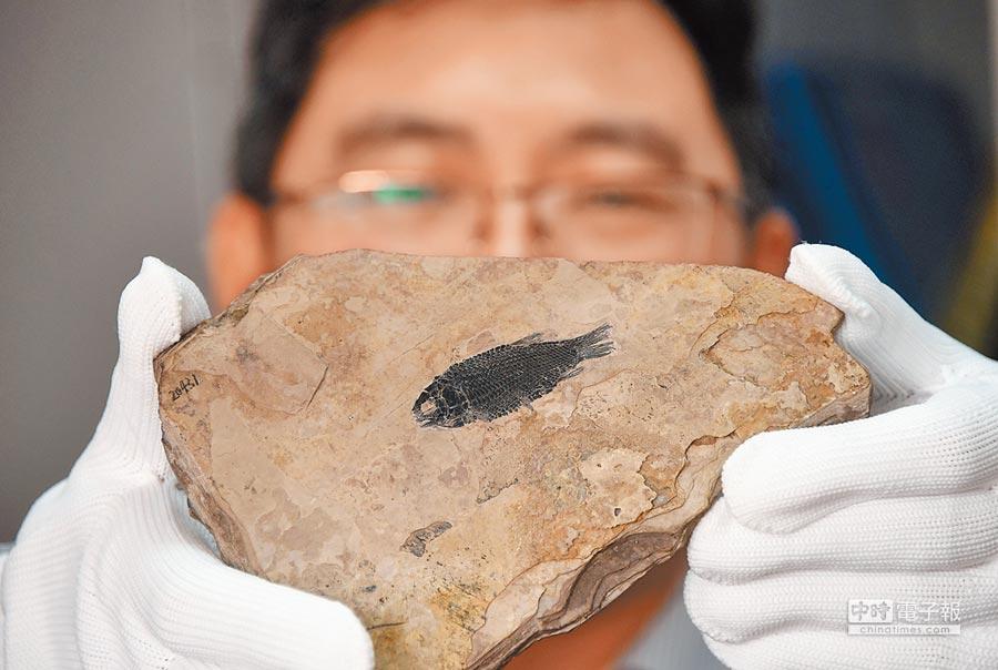 中國科學院研究員徐光輝日前展示他在雲南羅平所發現2.44億年前新的鉸齒魚類化石。(中新社)