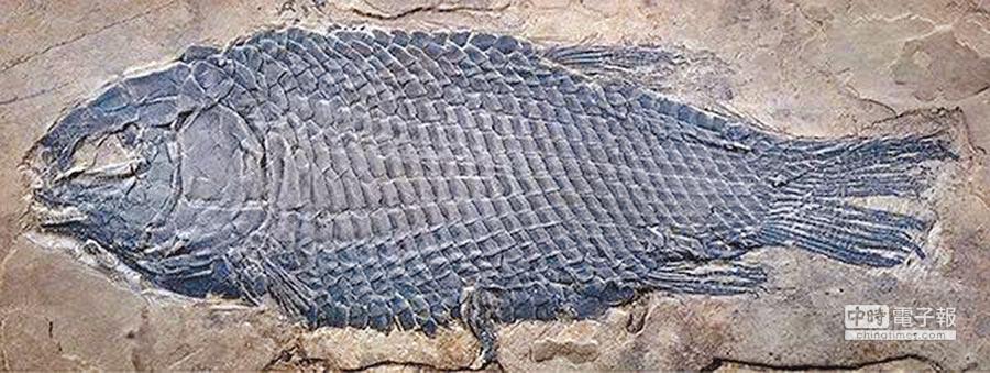 優美玉帶魚正型標本。(徐光輝提供)